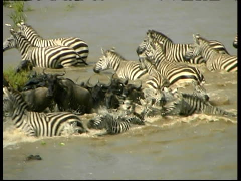 wildebeest and zebra running away from crocodile crossing mara river, ms, kenya - escaping stock videos & royalty-free footage