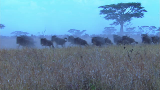 ws wildebeest and zebra stampeding in smoky grassland zi to ms and pan - stampeding stock videos & royalty-free footage