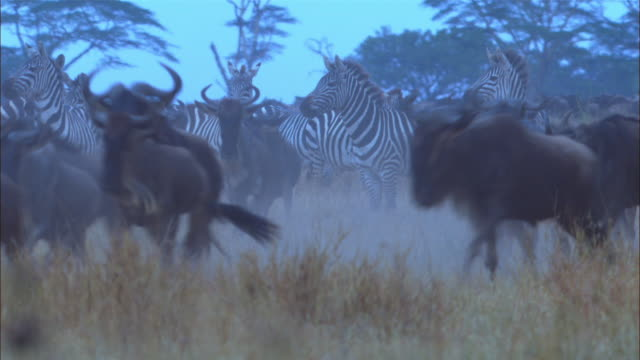 CU wildebeest and zebra stampeding in smoky grassland ZO to WS and PAN