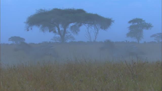 cu wildebeest and zebra stampeding in smoky grassland pan with them - stampeding stock videos & royalty-free footage