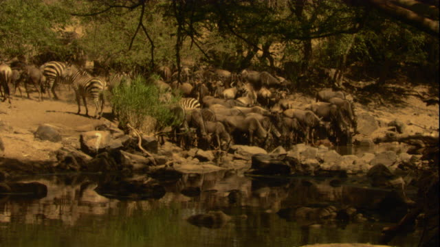 Wildebeest and zebras drink from a river. Available in HD.