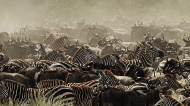 wildebeest (connochaetes taurinus) and zebras gather at river crossing, kenya - tiergruppe stock-videos und b-roll-filmmaterial