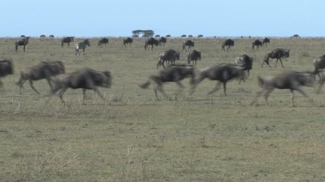 wildebeest and zebras running - stampeding stock videos & royalty-free footage