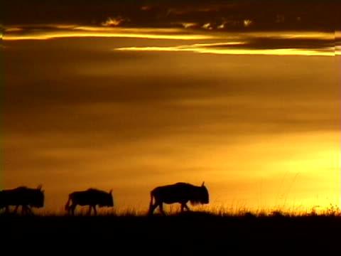 vídeos de stock, filmes e b-roll de wildebeest at sunset - menos de 10 segundos