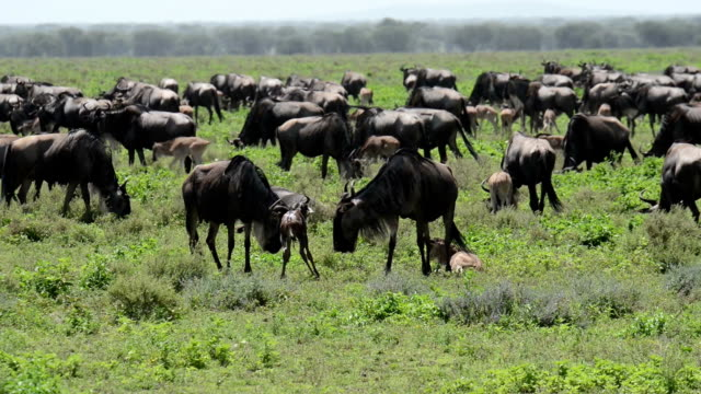 wildebeest baby takes first steps - first steps stock videos & royalty-free footage