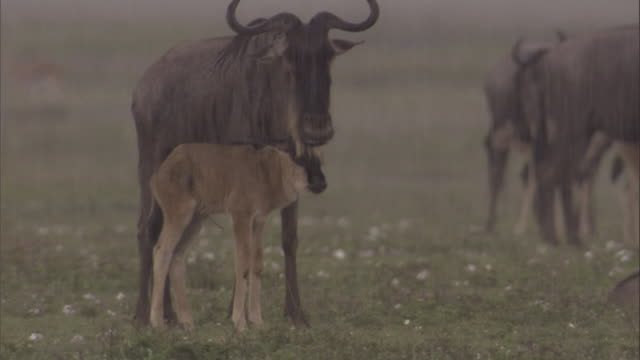 A wildebeest calf shelters under its mother in a rainstorm. Available in HD.