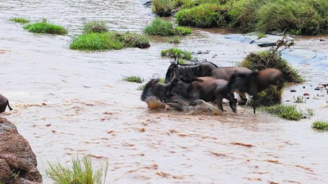 wildebeest crossing river maasai mara - stampeding stock videos & royalty-free footage