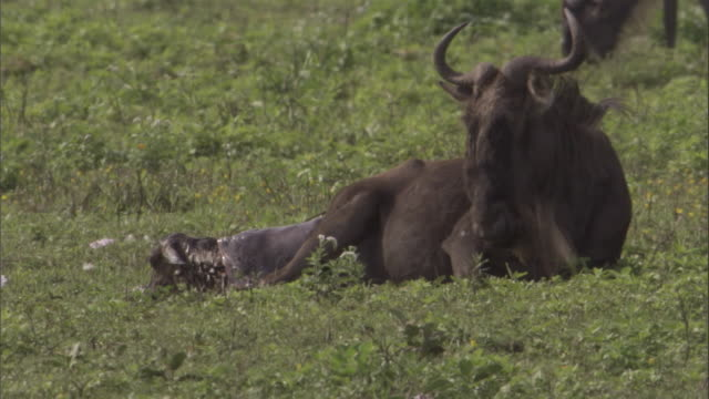 A wildebeest delivers a calf on the savannah in the Serengeti National Park. Available in HD.
