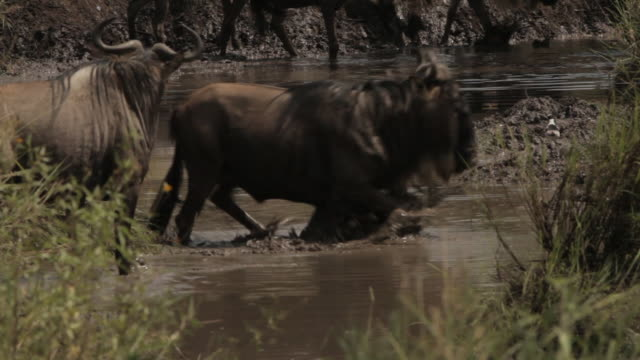 Wildebeest drink from and walk through a pool of water, Tanzania.
