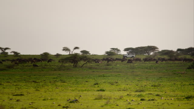 wildebeest graze in front of a landrover - safari animals stock videos & royalty-free footage