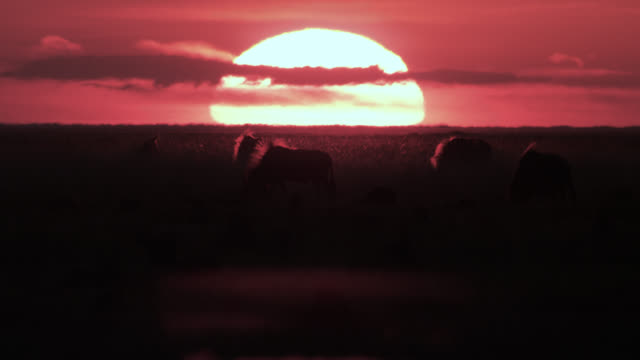wildebeest (connochaetes taurinus) graze on savannah at sunset, zambia - wildebeest stock videos & royalty-free footage