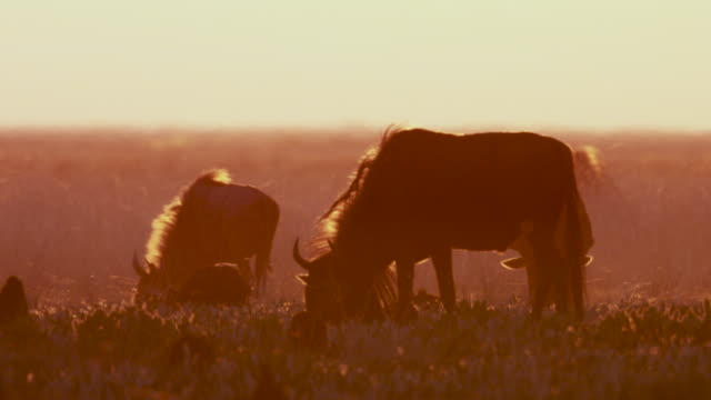vídeos y material grabado en eventos de stock de wildebeest (connochaetes taurinus) graze on savannah at sunset, zambia - pastar