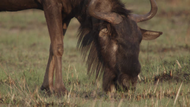 wildebeest (connochaetes taurinus) grazes on savannah, zambia - grazing stock videos & royalty-free footage