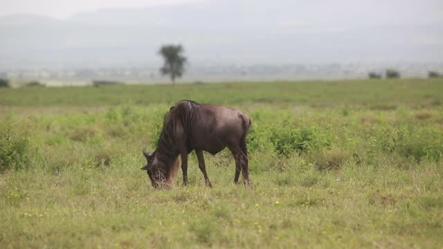 vídeos de stock e filmes b-roll de wildebeest grazing - wiese