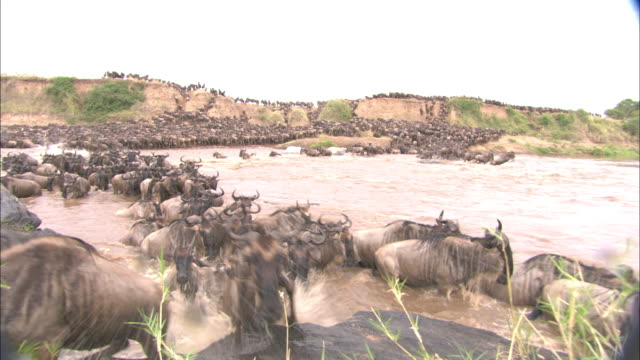 a wildebeest herd crosses the mara river. - wildebeest stock videos & royalty-free footage