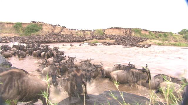 A wildebeest herd crosses the Mara River.