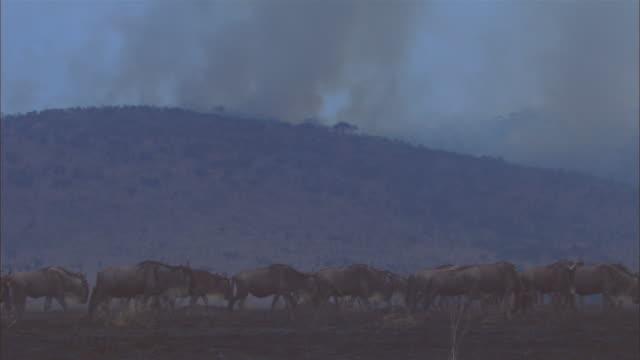 CU wildebeest herd crossing charred African grassland with smoke in background