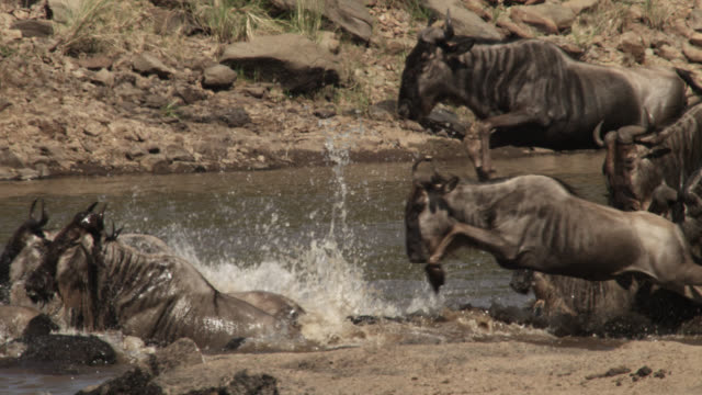 wildebeest (connochaetes taurinus) herd leaps into river crossing, kenya - wildebeest stock videos & royalty-free footage