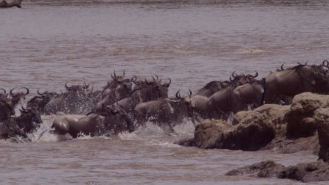 wildebeest (connochaetes taurinus) herd leaves river crossing, kenya - wildebeest stock videos & royalty-free footage