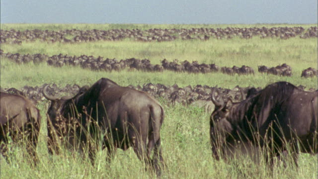 Wildebeest herd migrate across savannah into distance Available in HD.
