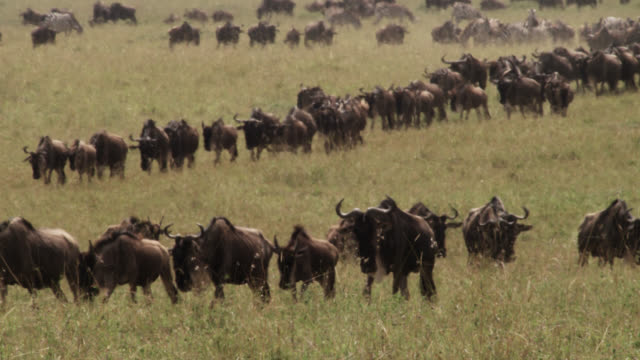 wildebeest (connochaetes taurinus) herd migrates across savannah, kenya - wildebeest stock videos & royalty-free footage