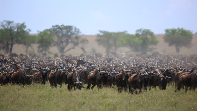 wildebeest herd on the move 2 - wildebeest stock videos & royalty-free footage