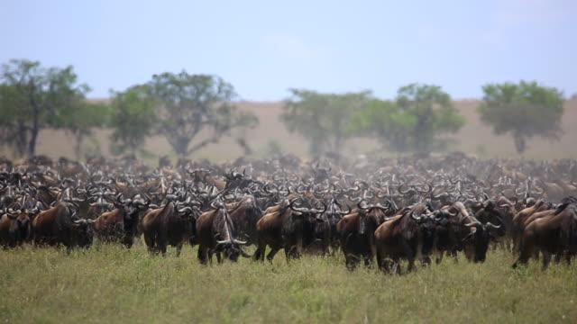 Wildebeest Herd on the move 2