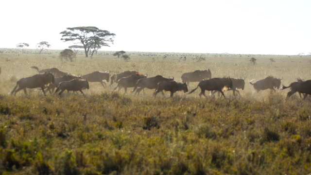 wildebeest herd on the move 3 - wildebeest stock videos & royalty-free footage