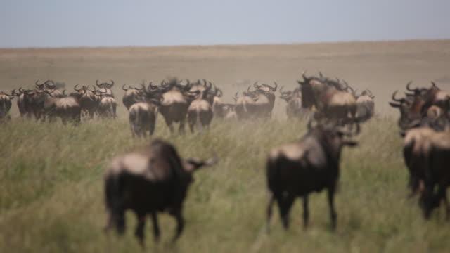 vídeos de stock, filmes e b-roll de wildebeest herd on the move 5 - antílope mamífero ungulado