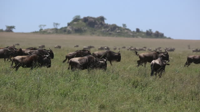 wildebeest herd on the move 6 - wildebeest stock videos & royalty-free footage
