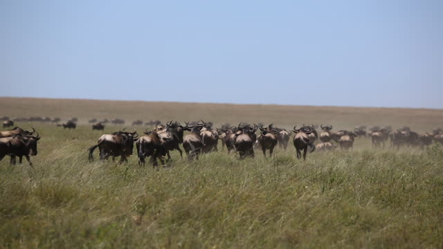 wildebeest herd on the move 7 - wildebeest stock videos & royalty-free footage