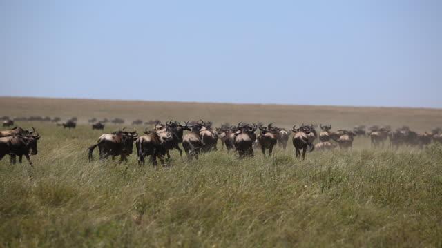 wildebeest herd on the move 7 - audio available点の映像素材/bロール