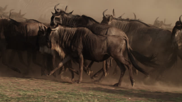 wildebeest (connochaetes taurinus) herd runs on dusty savannah, kenya - wildebeest stock videos & royalty-free footage