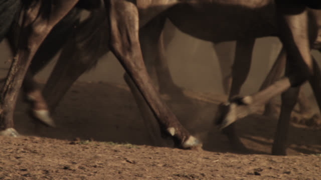 wildebeest (connochaetes taurinus) herd runs on dusty savannah, kenya - 蹄点の映像素材/bロール