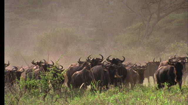 Wildebeest herd runs toward camera, Tanzania Available in HD.