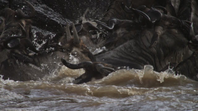 vidéos et rushes de wildebeest (connochaetes taurinus) herd undertakes river crossing, kenya - troupeau