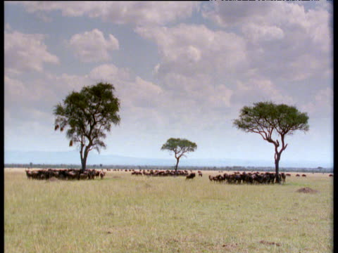 wildebeest huddle in the shade of three acacia trees - acacia tree stock videos & royalty-free footage