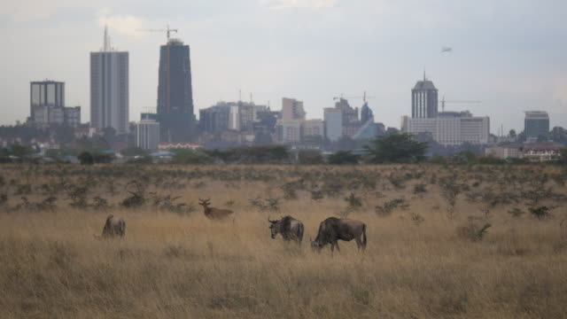 wildebeest in front of nairobi skyline, kenya - nairobi stock videos and b-roll footage
