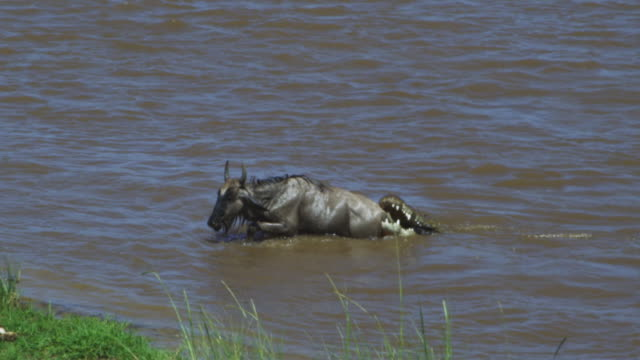 slomo ws wildebeest in river struggles with nile crocodile gripping its back leg and pulling it underwater - ambush stock videos and b-roll footage
