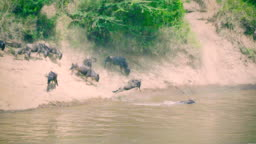 Wildebeest jumping into water - Migration
