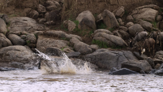 wildebeest (connochaetes taurinus) leap into water at river crossing, kenya - wildebeest stock videos & royalty-free footage