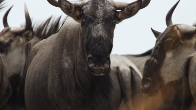 wildebeest (connochaetes taurinus) looks around in herd, zambia - wildebeest stock videos & royalty-free footage