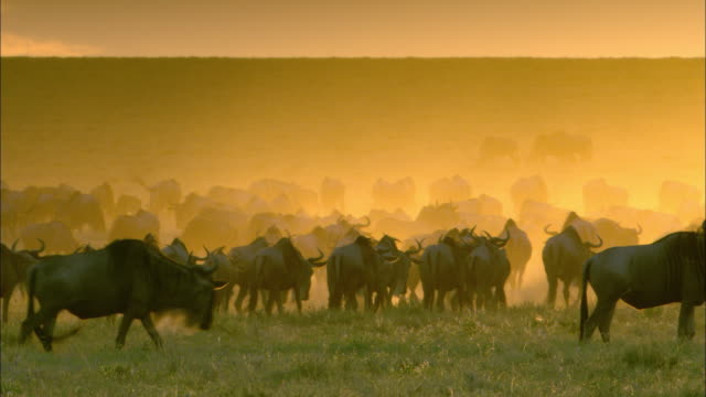 wildebeest migrate over a savannah in the serengeti of africa. - wildebeest stock videos & royalty-free footage