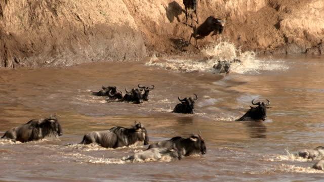 Wildebeest migration crossing Mara river.Masai Mara game reserve.Kenya