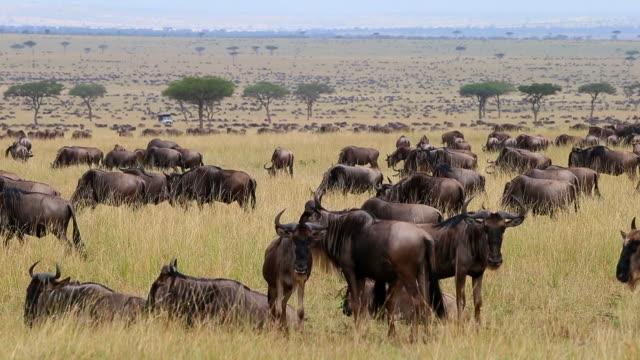 wildebeest migration - animal migration stock videos & royalty-free footage