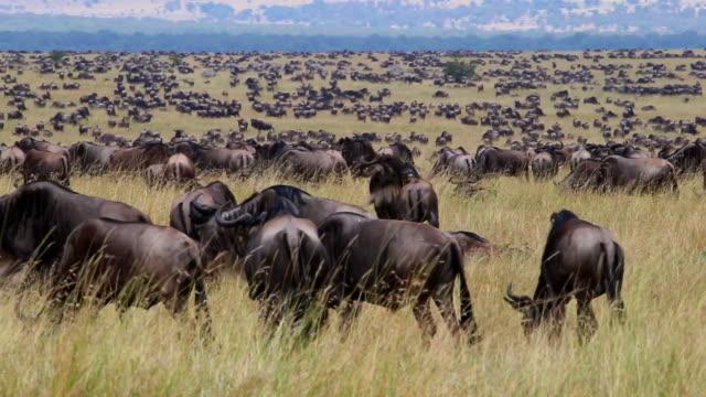 vídeos y material grabado en eventos de stock de ñu de migración - reserva nacional de masai mara