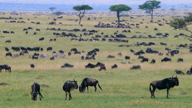 wildebeest migration - safari animals stock videos & royalty-free footage