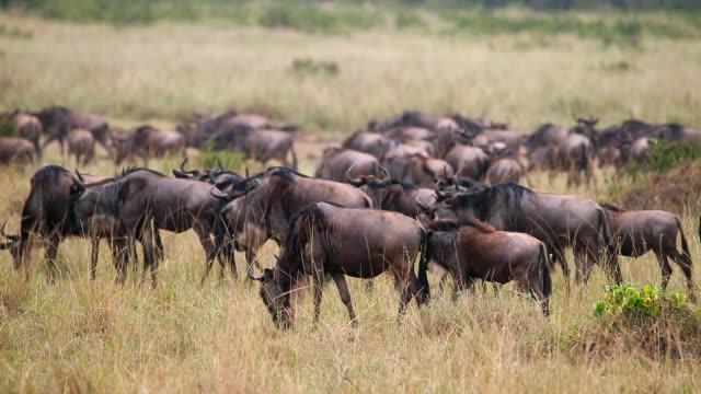 gnu migration - antilope stock-videos und b-roll-filmmaterial