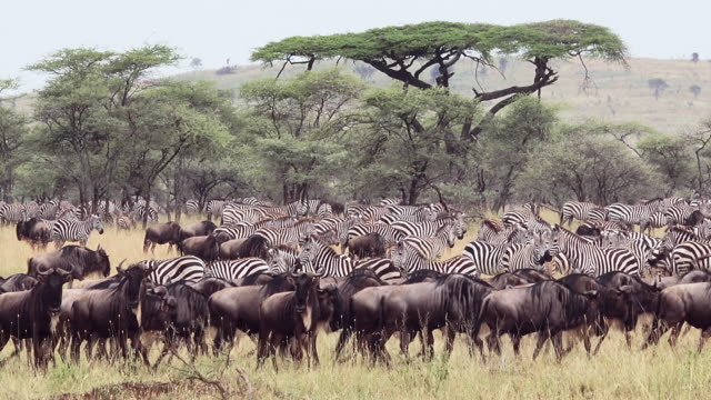 wildebeest moving left with zebras and acacia trees in background during migration of wildebeest and zebra, serengeti national park, tanzania - wildebeest stock videos & royalty-free footage