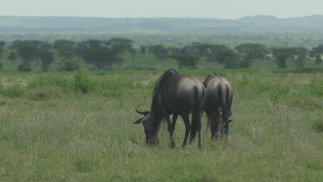 wildebeest pair grazing - wiese stock videos & royalty-free footage
